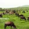 ンゴロンゴロのヌーの群れ