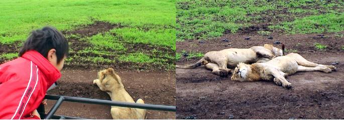 至近距離でライオンを見つめる子どもたち