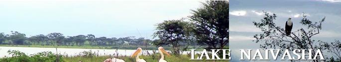 ナイバシャ湖のペリカン