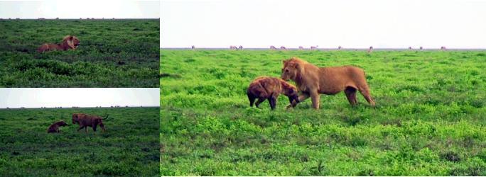 ハイエナとけんかするオスライオン