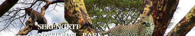 木に登ったヒョウ