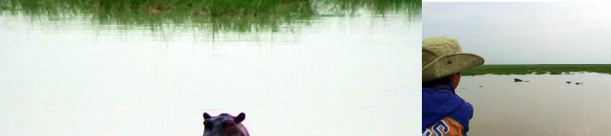 ンゴロンゴロのカバ