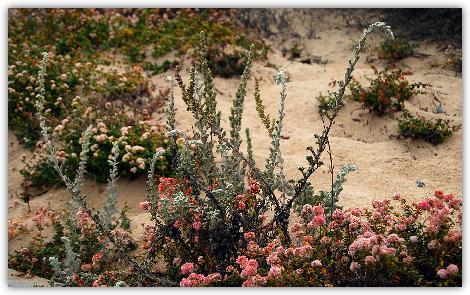 砂丘の咲く花