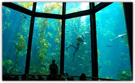 ジャイアントケルプの水槽を泳ぐダイバー
