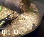 昆虫博物館のヘラクレスオオカブト