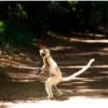 横っ飛び猿ベローシファカ