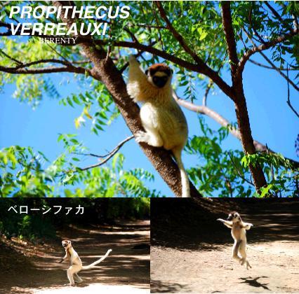 マダガスカルの珍しい猿、ベローシファカ