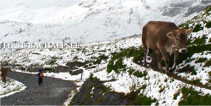 カウベルを鳴らす牛