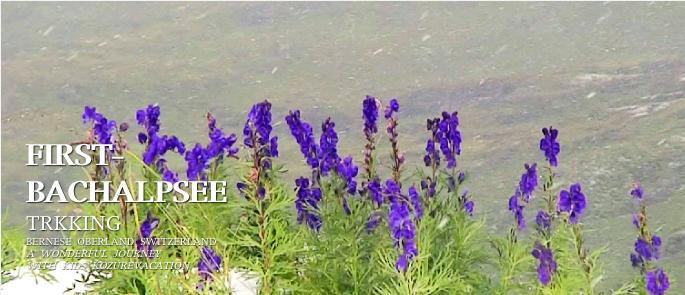 バッハアルプゼー湖に咲く花