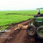 サファリカーの前に寝そべるライオン