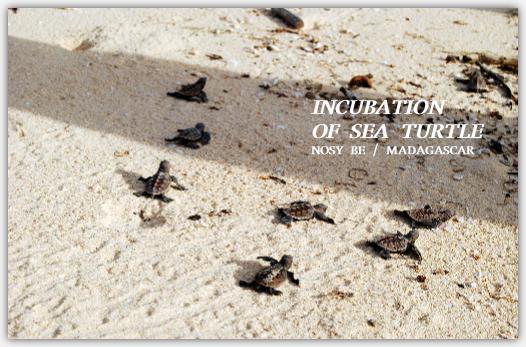 孵化したばかりのウミガメの赤ちゃん海へ帰る
