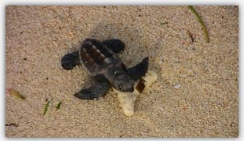 孵化したばかりのウミガメの赤ちゃん