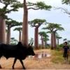 バオバブ並木