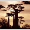 マダガスカルの夕焼けとバオバブの並木道