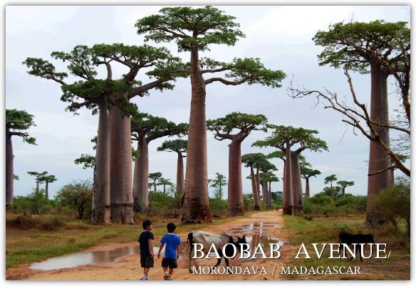 雨上がりのバオバブ並木