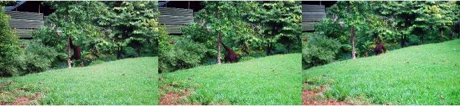 ホテルの庭を移動するオラウータン