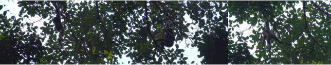 枝から枝へ移動するギボン