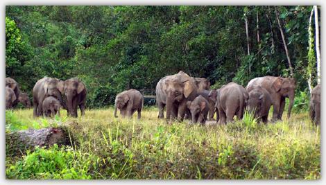 野生のボルネオゾウの大群