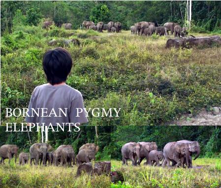 ボルネオゾウの群れに追われる