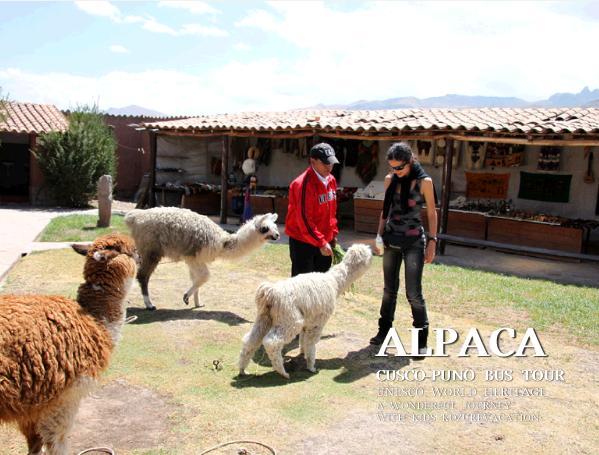 アルパカ・リャマの餌付け体験