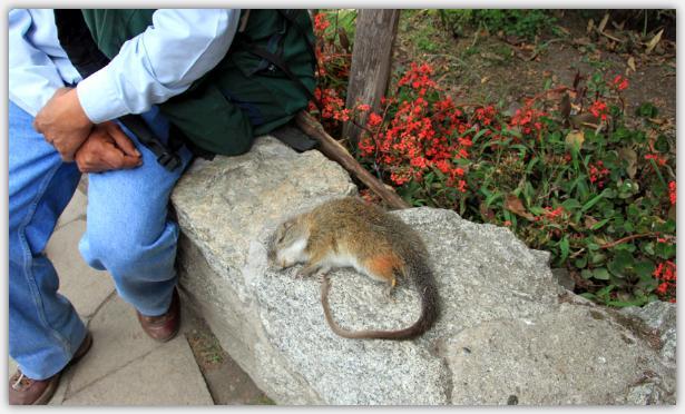マチュピチュで見た野生動物