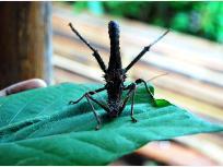 ボルネオの珍しい昆虫