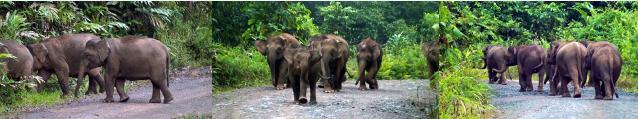脇の森から群れに合流するゾウ