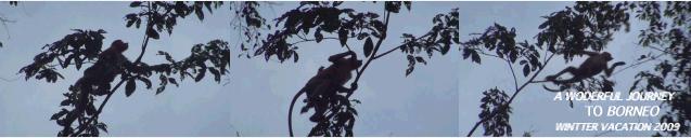 テングザルのジャンプ