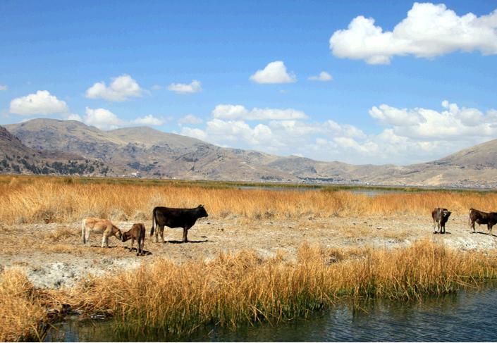 牛が放牧されている島