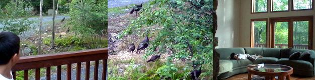 別荘の前に現れた野生の七面鳥