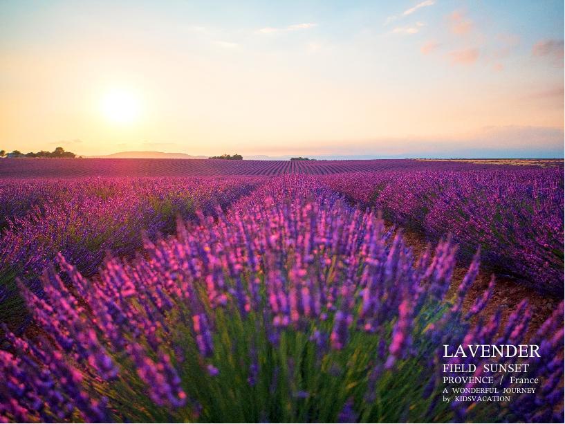 ラベンダー畑を赤く染めるフランスの夕日