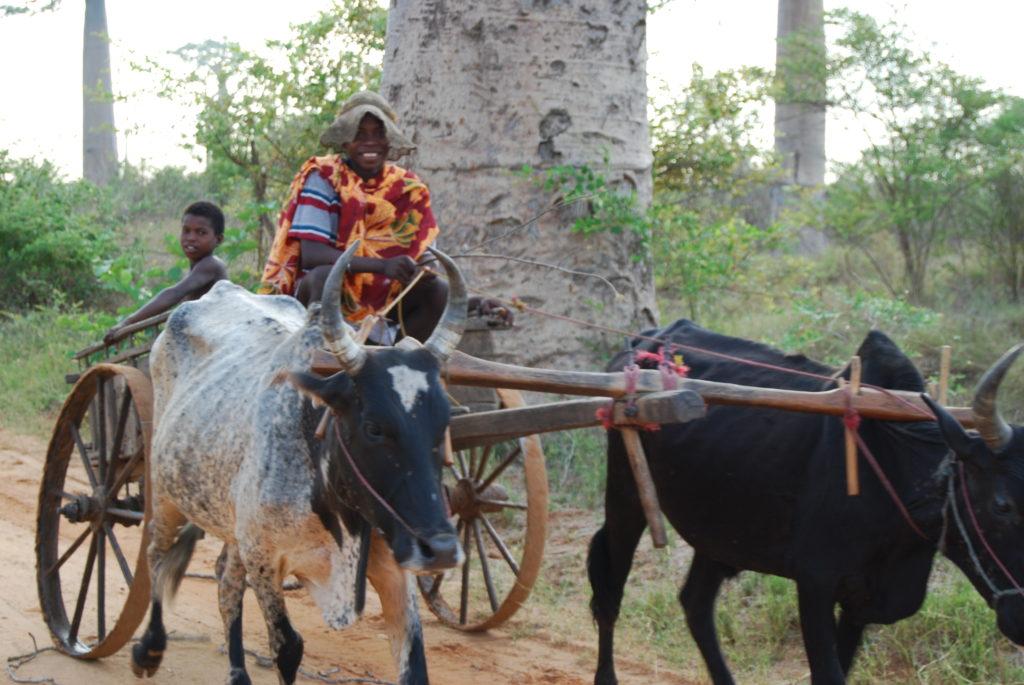 マダガスカルのバオバブ並木を走る牛車