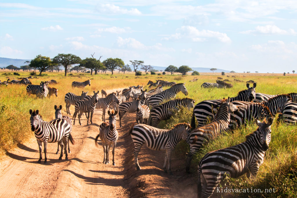 ンゴロンゴロのシマウマの群れ