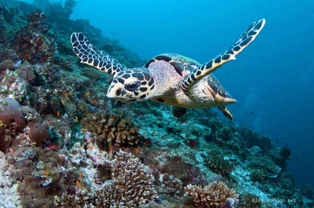 サンゴ礁の海を泳ぐウミガメの写真
