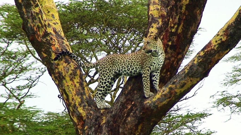 セレンゲティで見た木に登る野生のヒョウ