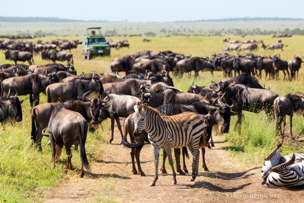 ンゴロンゴロのシマウマとヌーの群れ