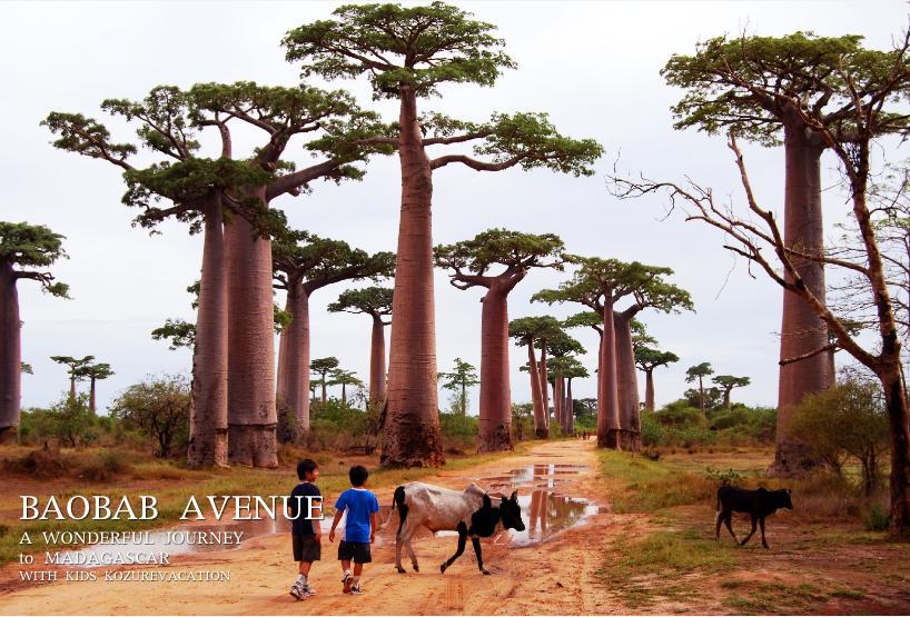 マダガスカル、モロンダバのバオバブ並木