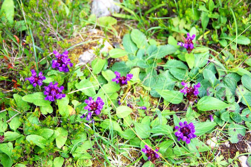 高山植物の紫色の花
