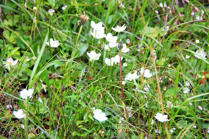 白い花はエーデルワイスかな