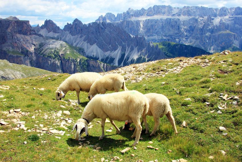 セラ山群を背景に草をはむ羊たち