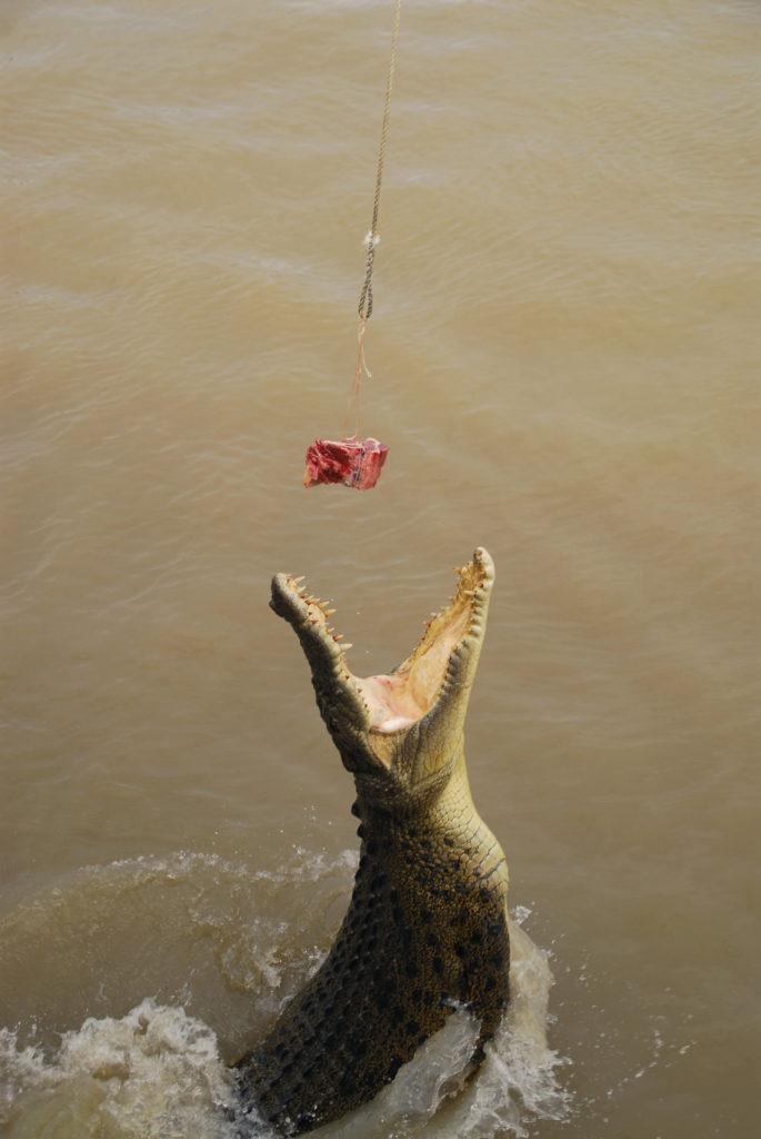川面からジャンプしてに生肉に食らいつく巨大なイリエワニ