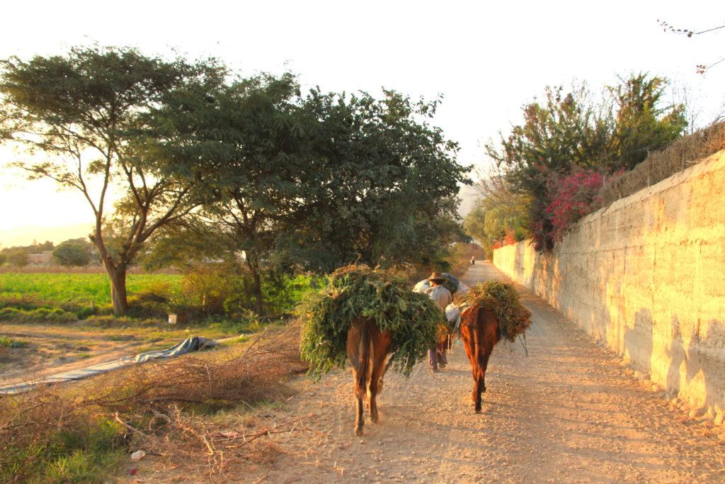収穫した綿花を運ぶロバ