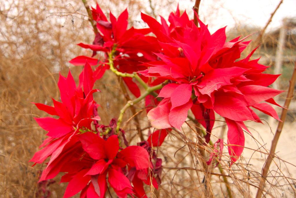 ポインセチアみたいな花