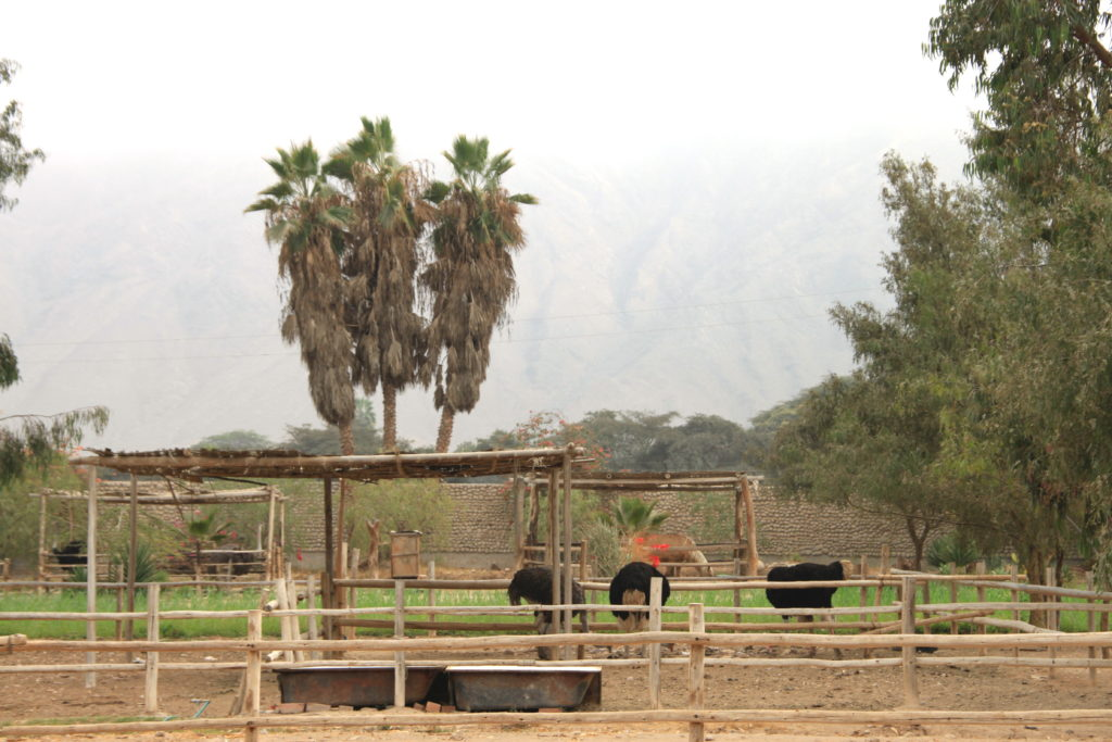 ダチョウの牧場