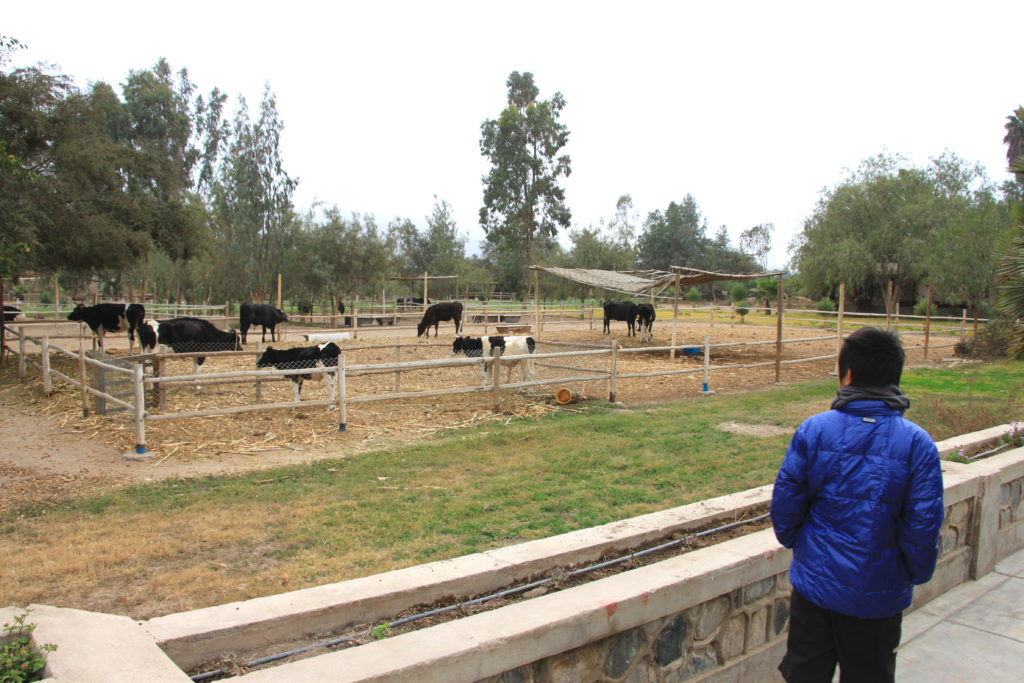 牛を見る次男