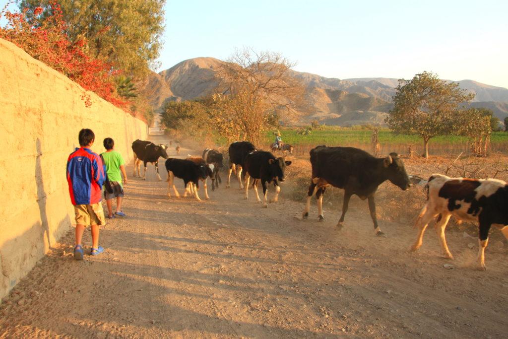 農作業を終えた牛たち