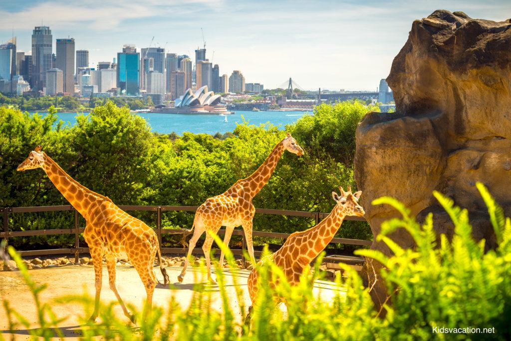 タロンガ動物園のキリンとハーバー越しに見えるオペラハウス