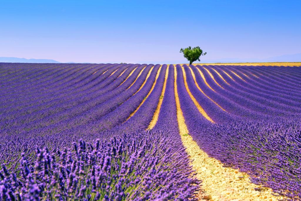 南フランス・プロヴァンス地方のラベンダー畑