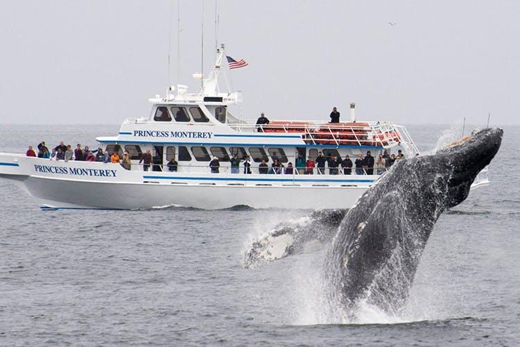 クルーズ船のそばで豪快にジャンプするモントレー湾のクジラ