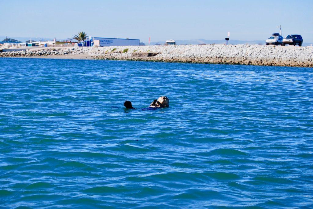 エルクホーンスラウのラグーンに浮かぶ野生のカリフォルニアラッコ